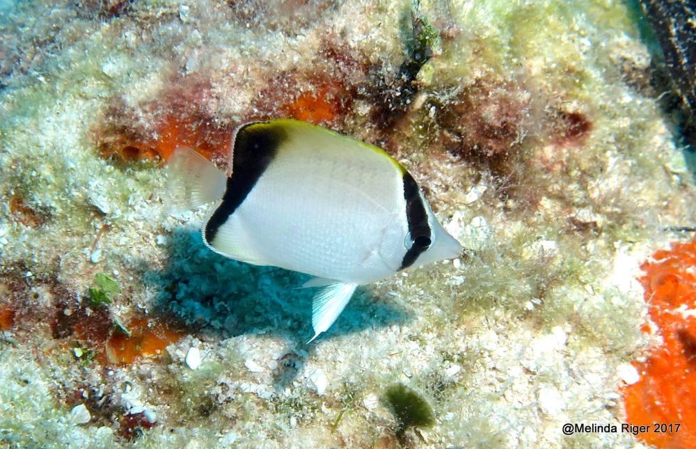 Reef Butterflyfish, Bahamas - Melinda Riger / Grand Bahama Scuba