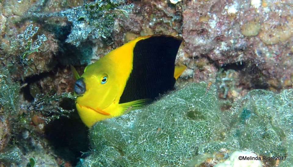 Rock Beauty, Bahamas (Melinda Riger / Grand Bahama Scuba)