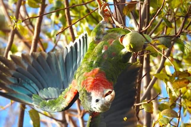 Abaco (Cuban) Parrots, Bahamas (Melissa Maura)