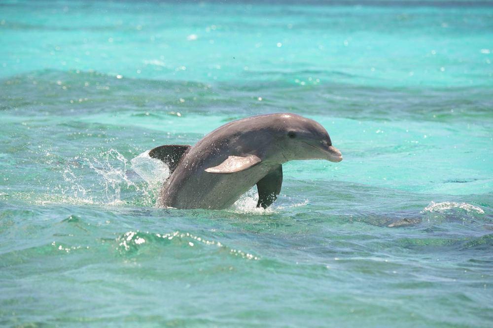 Atlantic Spotted Dolphin, Bahamas (BMMRO)