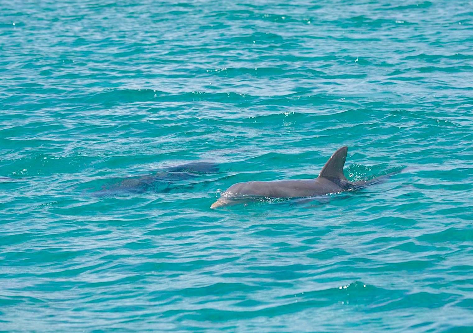 Bottlenose Dolphin, Bahamas (BMMRO)