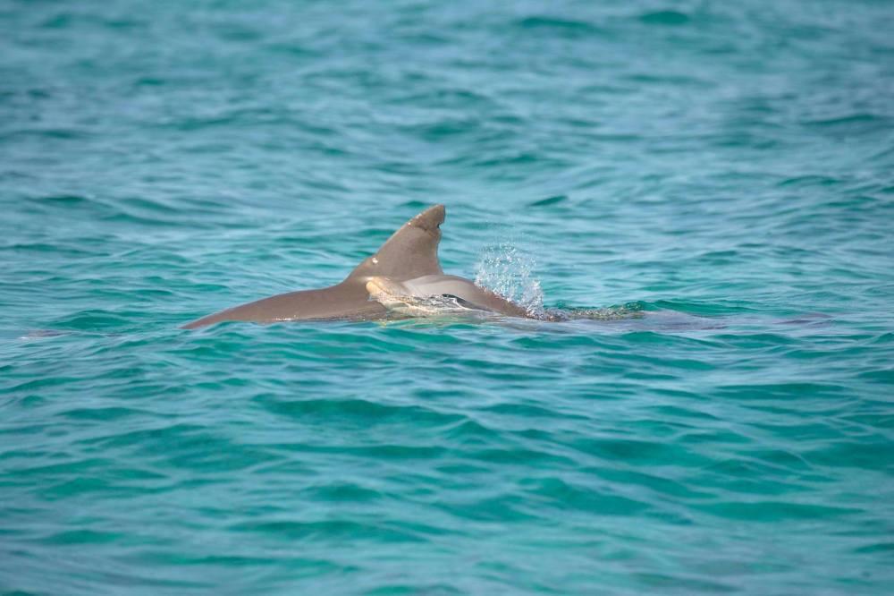 Bottlenose Dolphin, Bahamas - Dorsal Fin Damage (BMMRO)