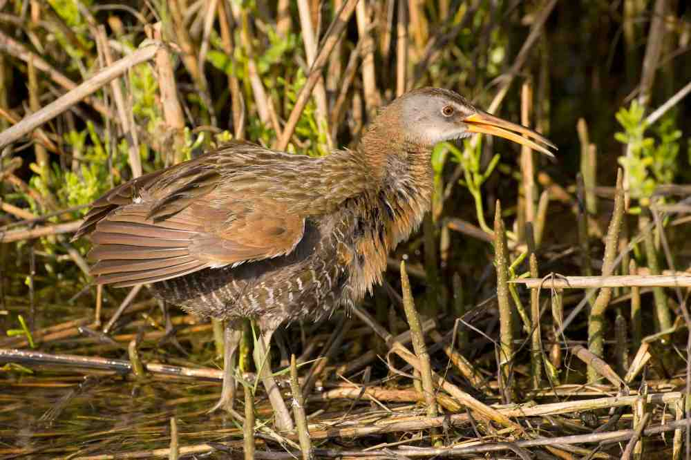 Clapper Rail, Abaco, Bahamas (Tom Sheley / Birds of Abaco)