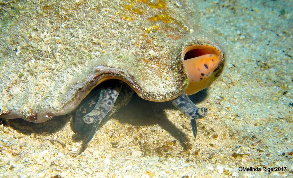 Conch and their eyes, Bahamas (Melinda Riger)