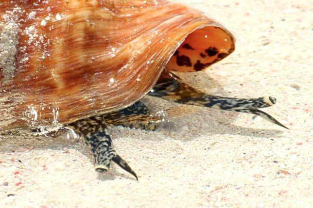 Conch Man-o-War Cay, Abaco, Bahamas (Charmaine Albury)