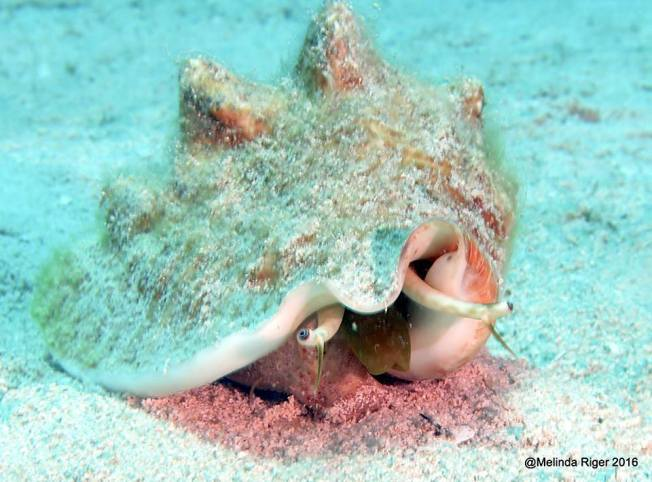 Conch and their eyes, Bahamas (Melinda Riger)