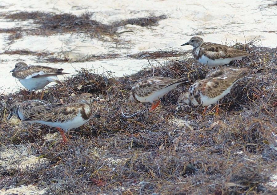 Ruddy Turnstones, Delphi Beach Abaco Bahamas (Keith Salvesen)
