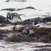 RUDDY TURNSTONES ON ABACO: BEACH NOSHING