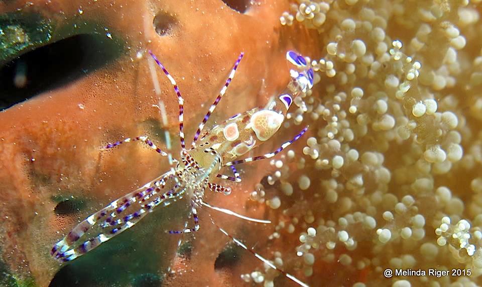 Pederson's Cleaning Shrimp, Bahamas (Melinda Riger, GB Scuba)