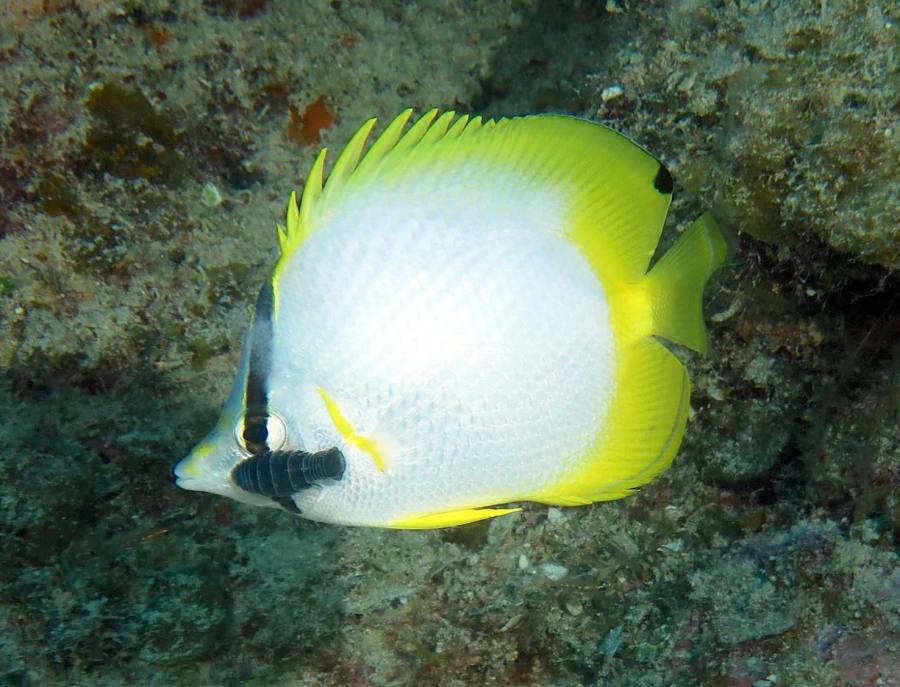 Spotfin Butterflyfish, Bahamas (Melinda Riger / G B Scuba)