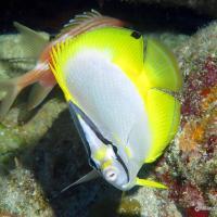 BAHAMAS REEF FISH (38): SPOTFIN BUTTERFLYFISH