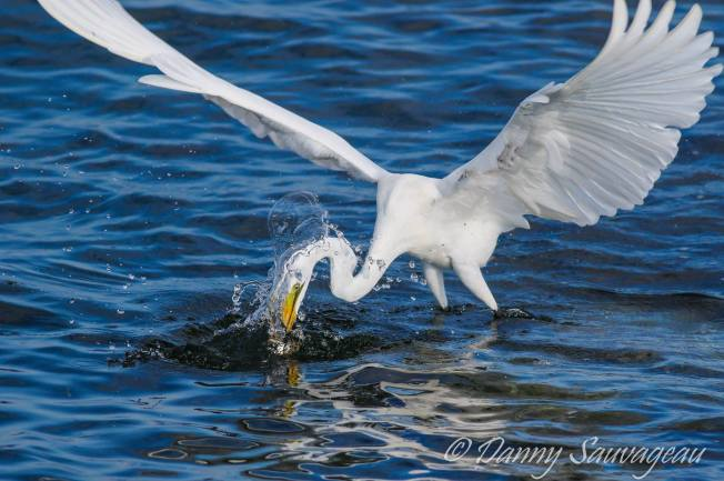 All About Birds Great Egret >> Great Egret Abaco Rolling Harbour Abaco