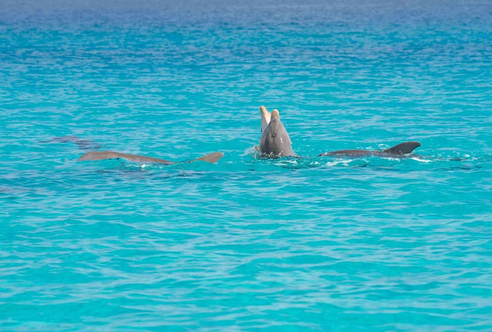 Bottlenose Dolphins, Abaco Bahamas (BMMRO)