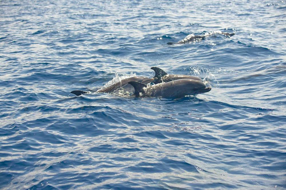 Atlantic Spotted Dolphins, Abaco, Bahamas (BMMRO)