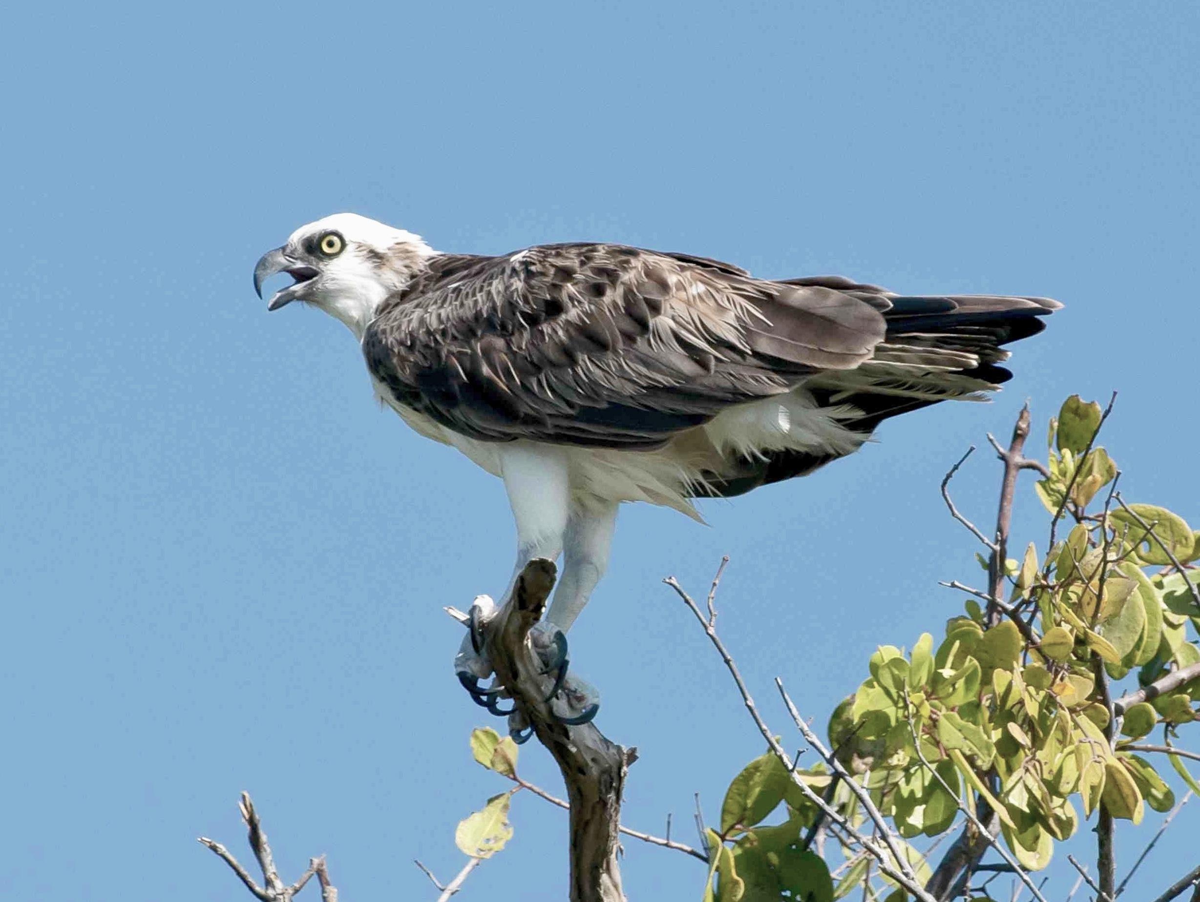 Osprey, Abaco, Bahamas - Tom Sheley