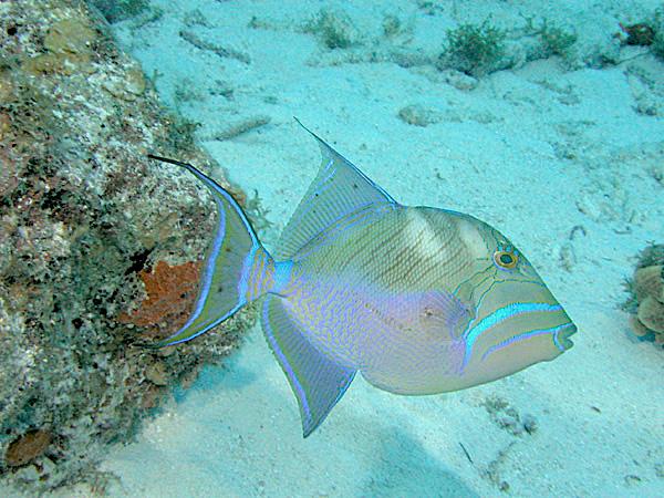 Queen Triggerfish Bahamas (Clark Anderson / Aqua-images)