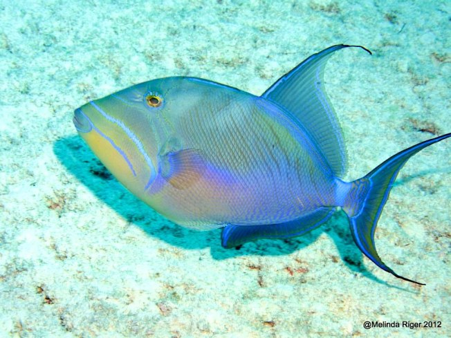 Queen Triggerfish Bahamas (Melinda Riger / Grand Bahama Scuba)