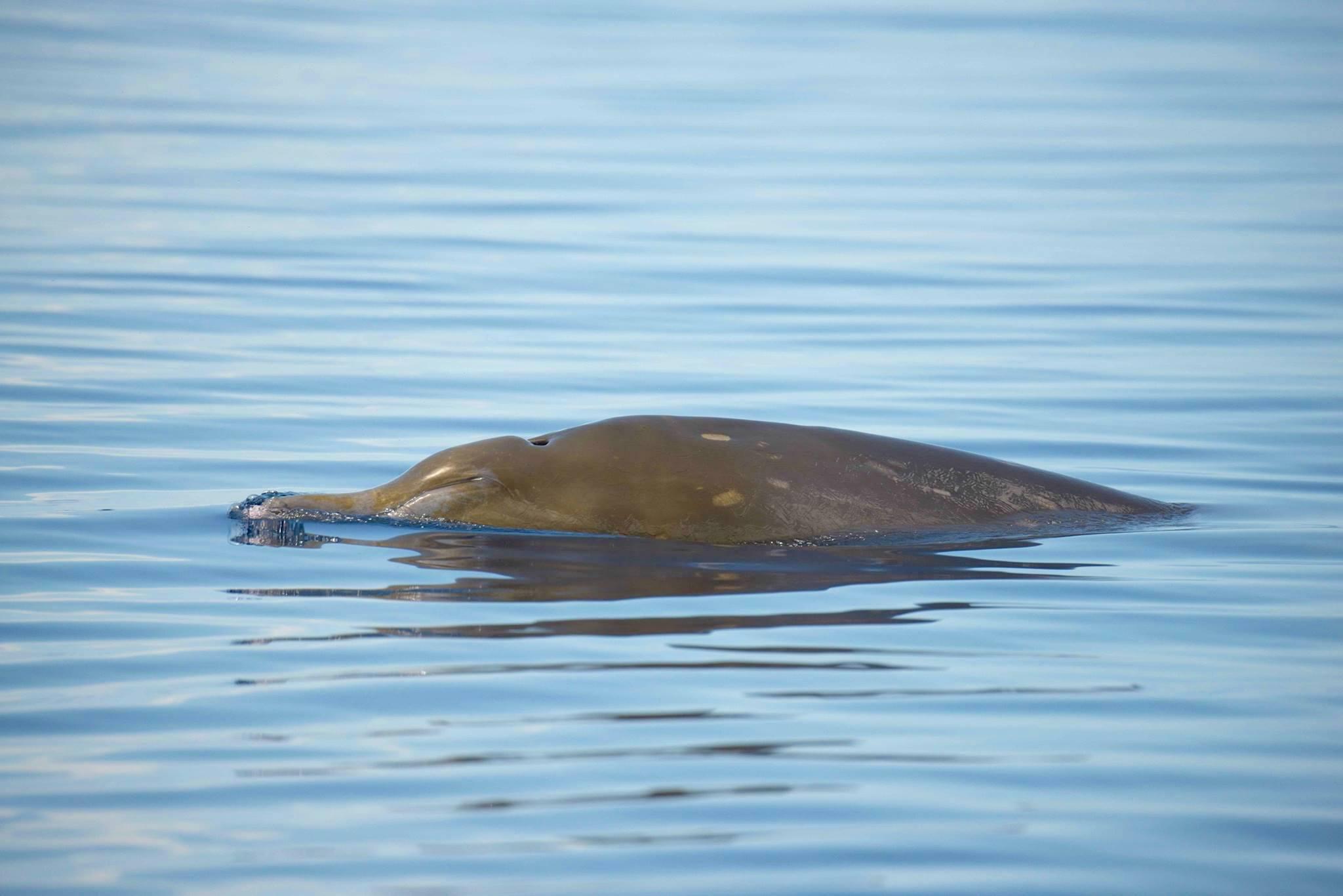 Blainville's Beaked Whale, Abaco (BMMRO)