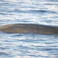 BLAINVILLE'S BEAKED WHALES IN ABACO WATERS