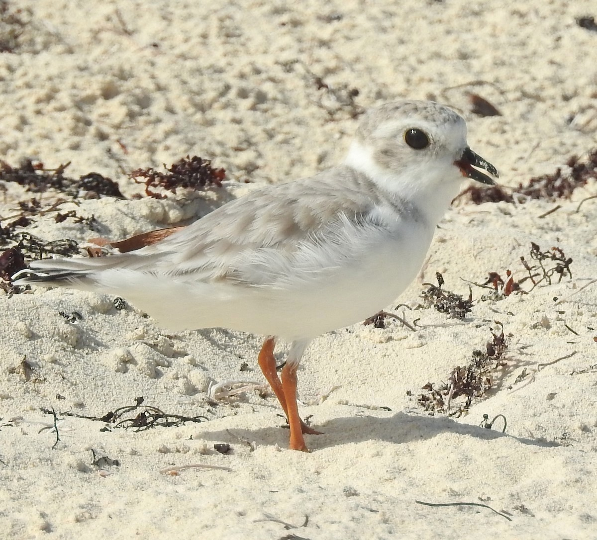 Piping Plover, Grand Bahama (Erika Gates)