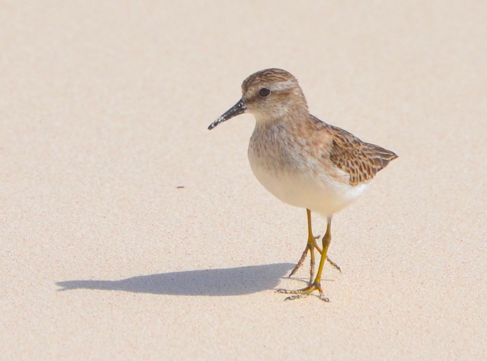 Least Sandpiper, Delphi Beach, Abaco (Charles Skinner)