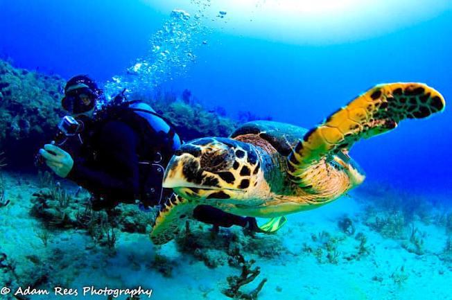 Hawksbill Turtle (Adam Rees / Scuba Works)