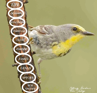 Taxonomic Hierarchy ' Olive-capped Warbler (© Tom Sheley / Keith Salvesen)