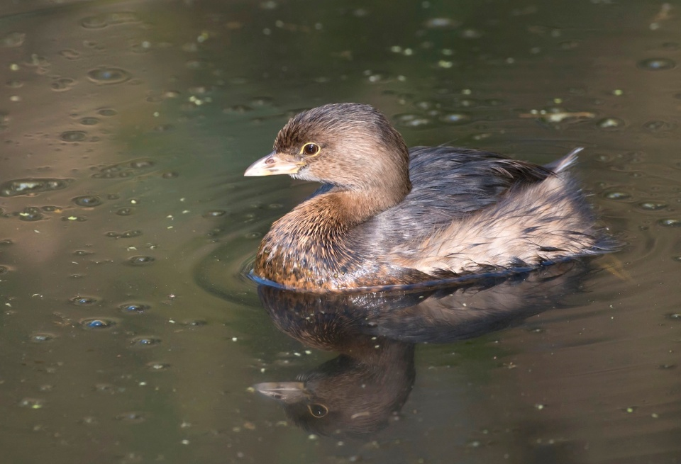 Pied-billed grebe, Abaco (Tom Sheley)