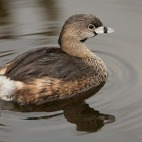 PIED-BILLED GREBES: LESS COMMON THAN THE LEAST