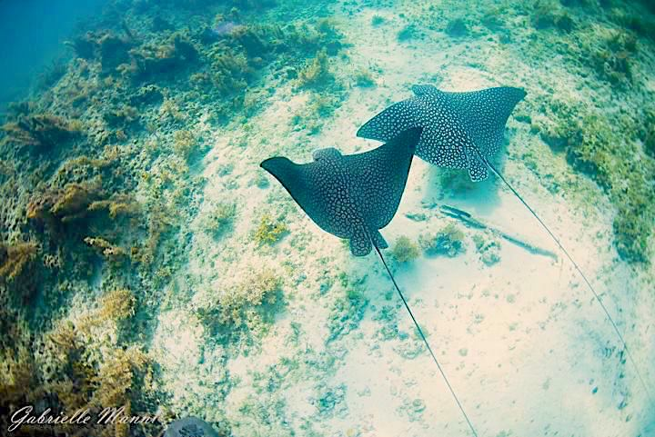 Spotted Eagle Rays, Abaco, Bahamas (Gabrielle Manni)