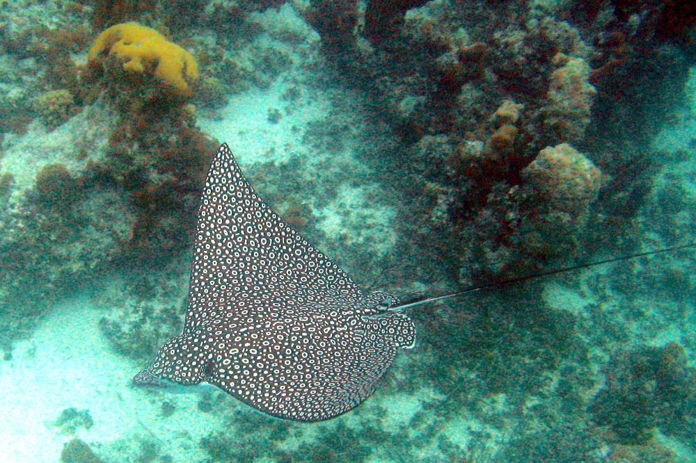 Spotted Eagle Ray, TCI (Jacob Robertson, Wiki)