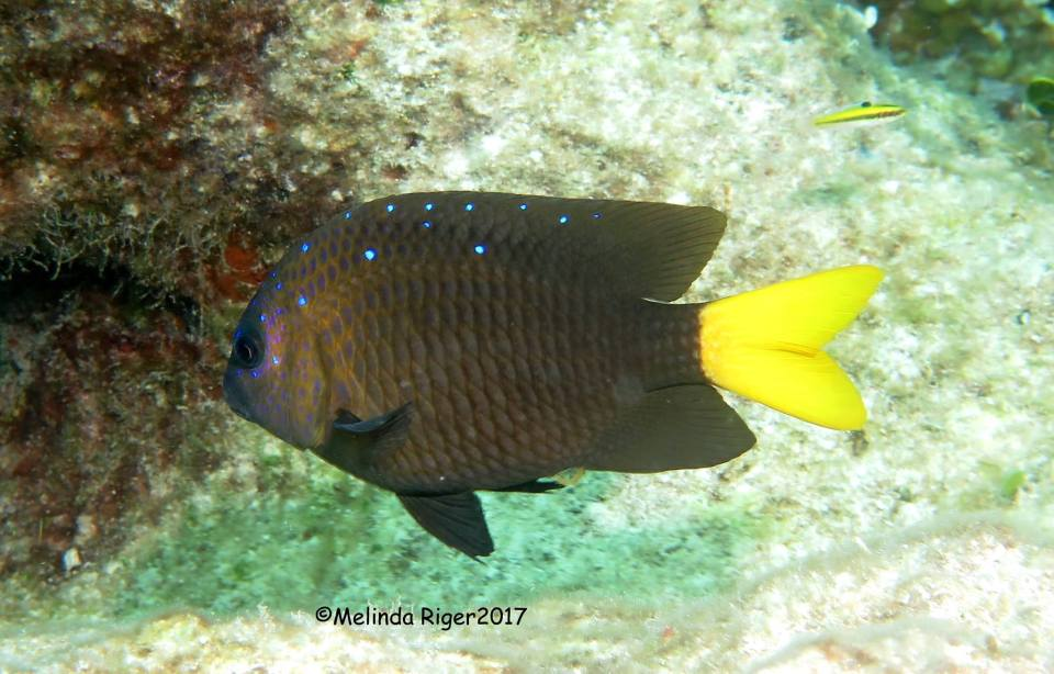 Yellowtail Damselfish (©Melinda Riger / Grand Bahama Scuba)