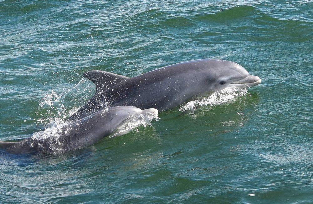 Bottlenose Dolphins (Brian Lockwood)