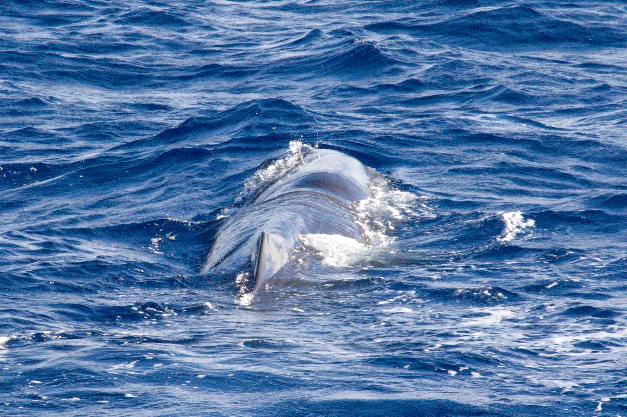 Sperm Whales, Bahamas (BMMRO)