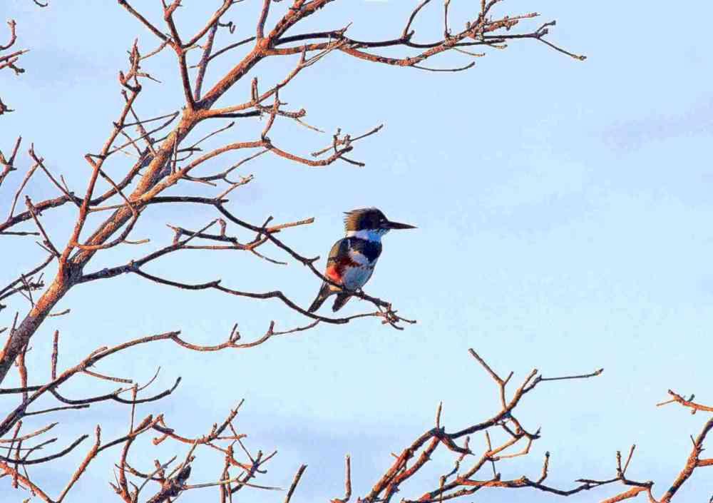 Belted Kingfisher (Bruce Miller)