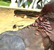 Scaly-necked pigeon's scaly neck, Abaco, Bahamas