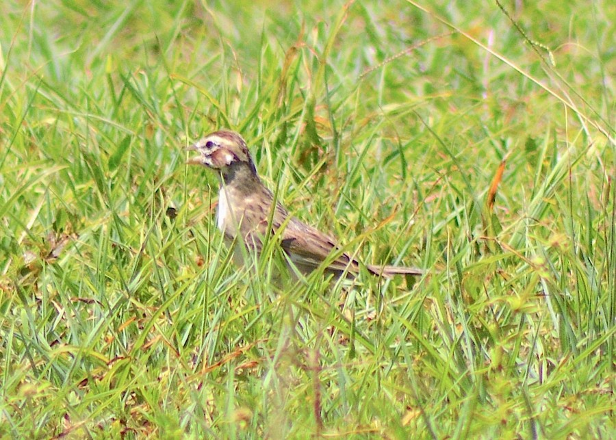 Lark Sparrow, Abaco Bahamas (Keith Kemp / Christopher Johnson)