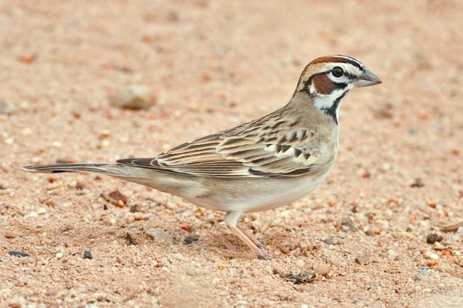 Lark Sparrow (Nature Pics Online / Wiki)