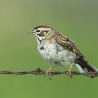 LARK SPARROW: EXTREMELY RARE VISITOR TO ABACO