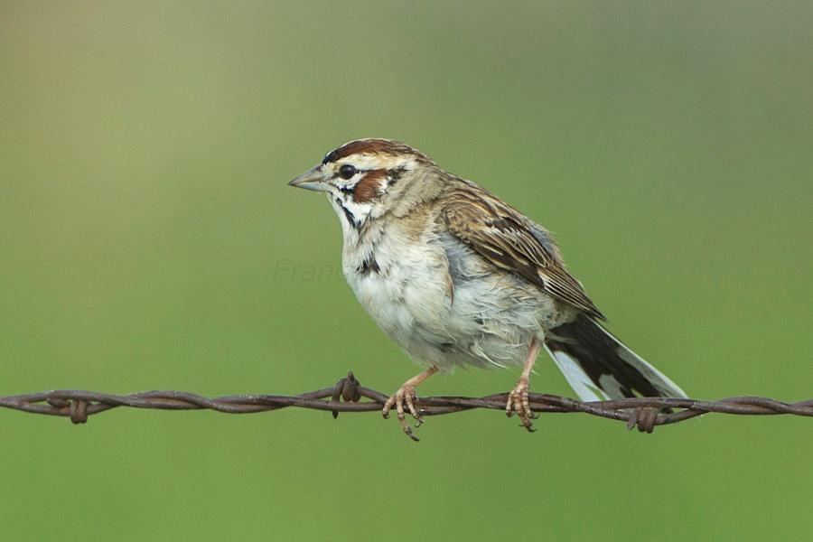 Lark Sparrow (Francesco Veronesi / Wiki)