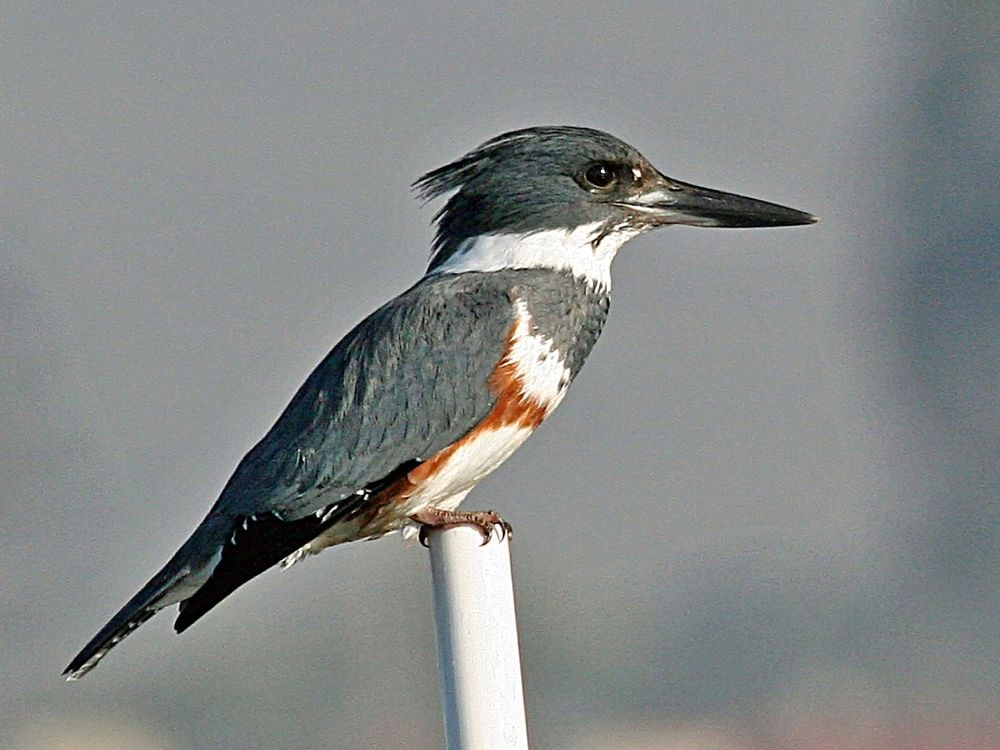 Belted Kingfisher (Michael L Baird)