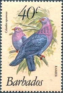 Scaly-naped Pigeon - Barbados
