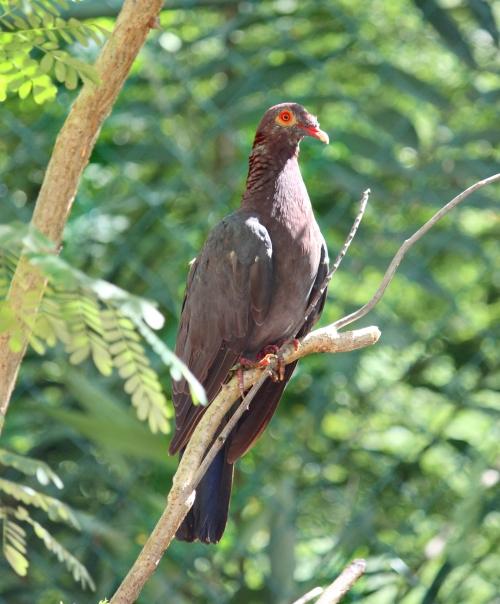 Scaly-necked pigeon (postdlf wiki)