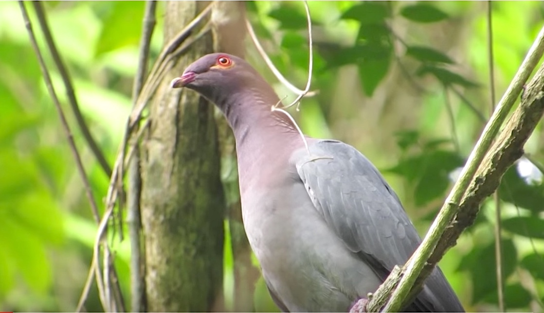Scaly-naped Pigeon (Jean Lopez)