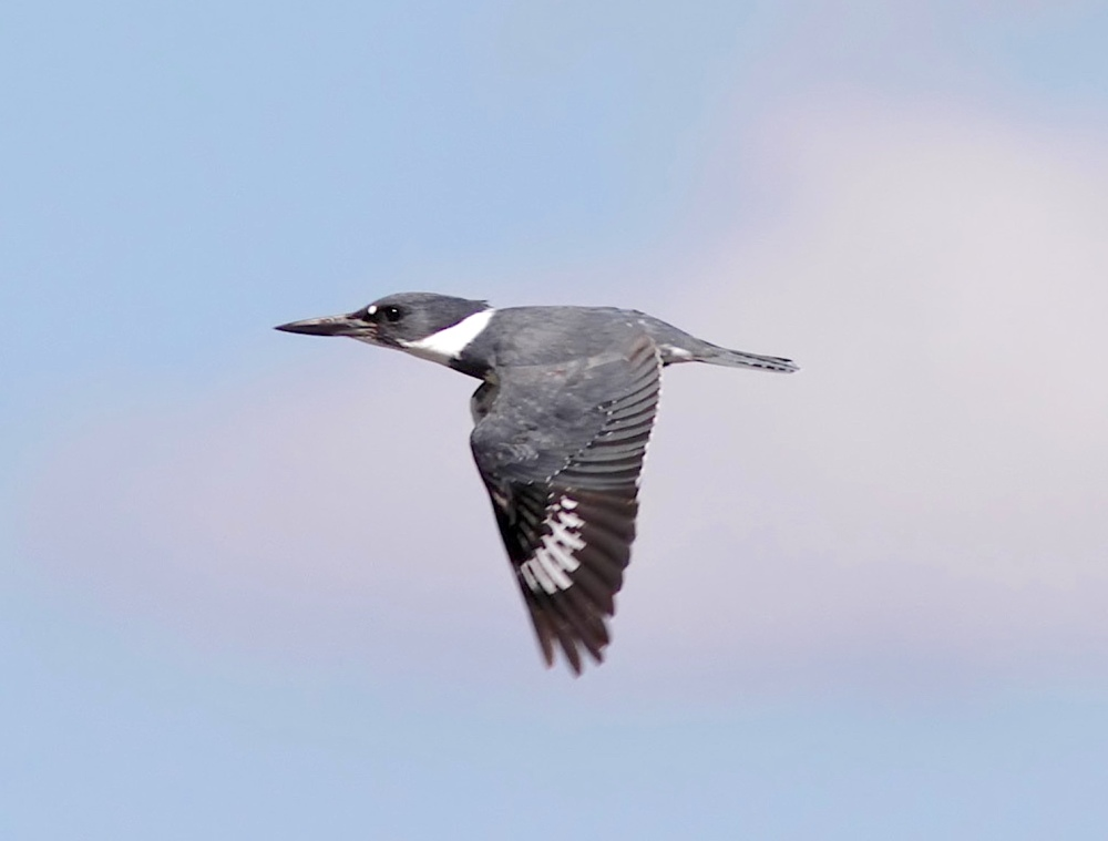 Belted Kingfisher (Phil Lanoue)