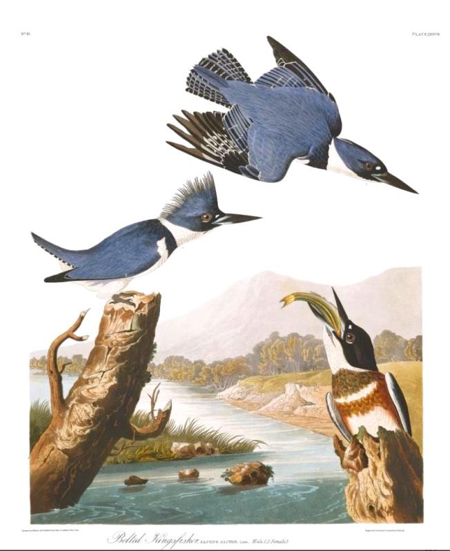 Belted Kingfisher (Audubon)