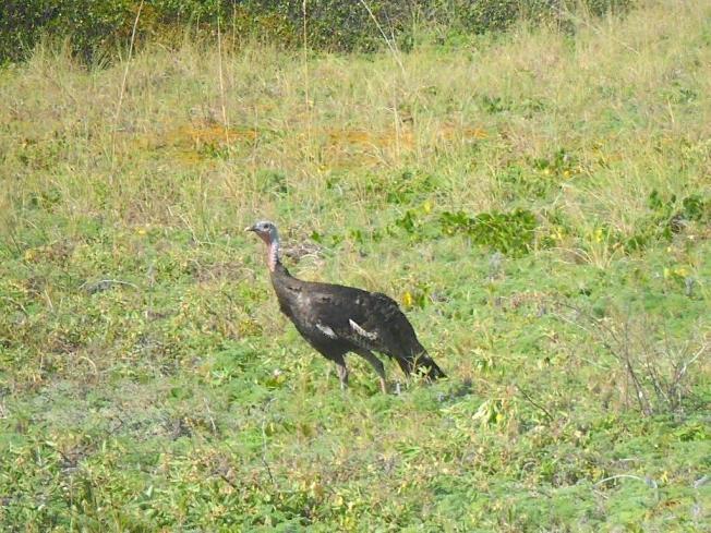 Wild Turkey Hen, Abaco, Bahamas (Ali & Bob Ball)