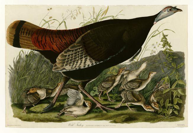 Wild Turkey Hen and Chicks (Audubon)