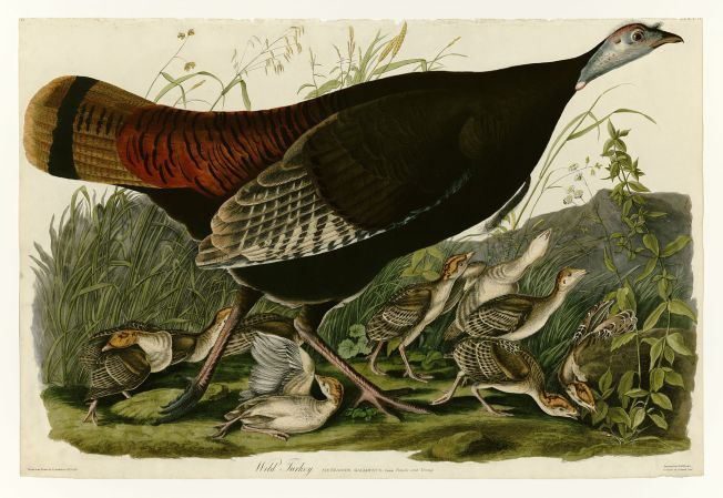 Wild Turkey Hen and Chicks (Audubon)