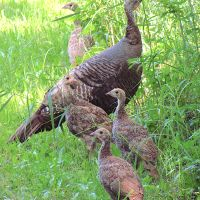 WILD TURKEYS ON ABACO (BAD TIMING...)